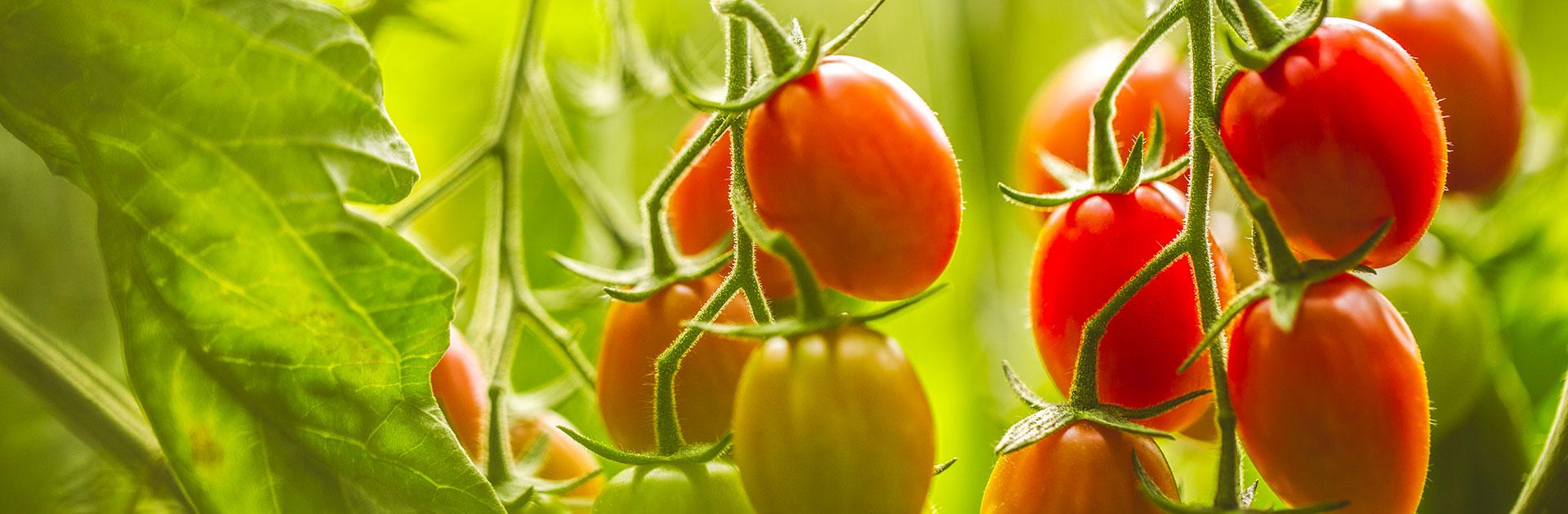 Tomaten-Null-Rückstand Pestizid de-azura