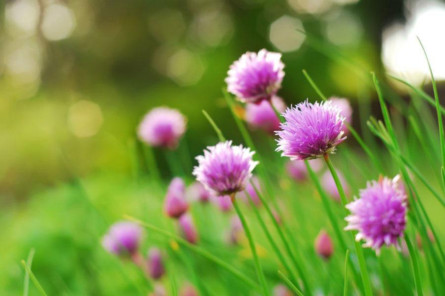Schnittlauch Blumen