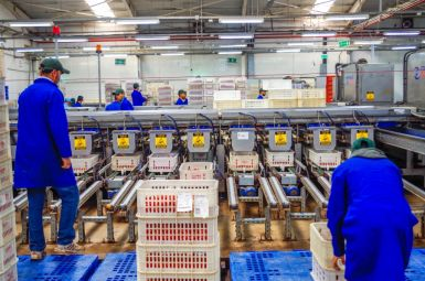 Tomatoes Packaging Line